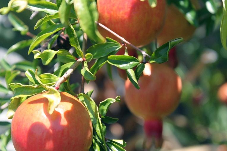 persimmons.drybrush