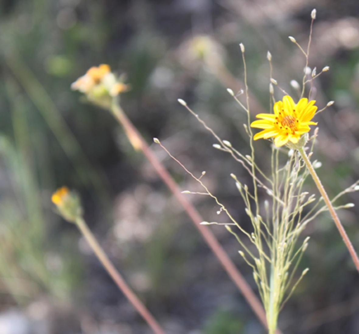 yellowbloom